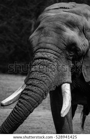 Black and white elephant portrait portrait of an elephant