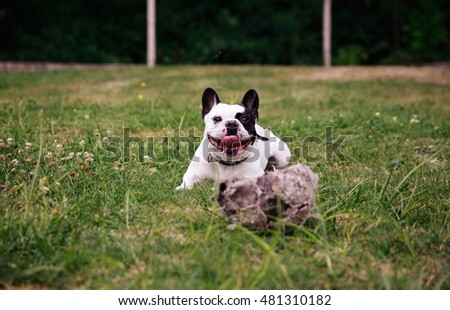 Black and white english bulldog playing with a ball