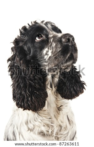 Black and white english cocker spaniel looking up - stock photo