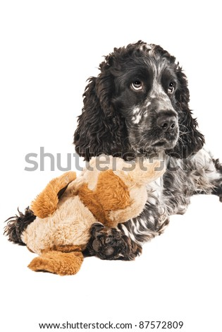 Black and white english cocker spaniel with a toy - stock photo