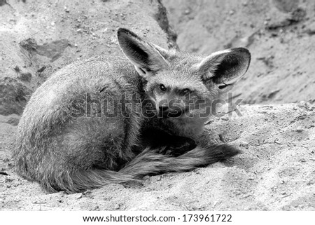 Fennec Stock Photos Images amp