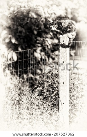 Black and white fine art portrait of domestic cat. An adult tortoise-shell female cat perched on a concrete post looking at camera. - stock photo