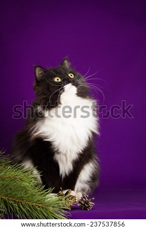Black and white fluffy cat sitting on a purple background. - stock photo