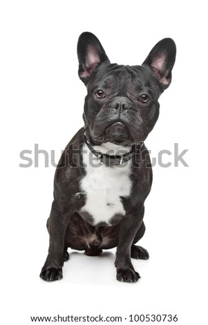 Black and White French Bulldog in front of white - stock photo
