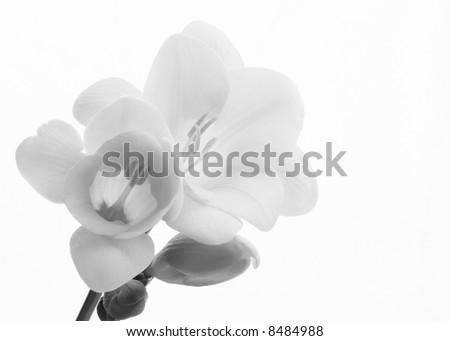 black and white fresia close-up - stock photo