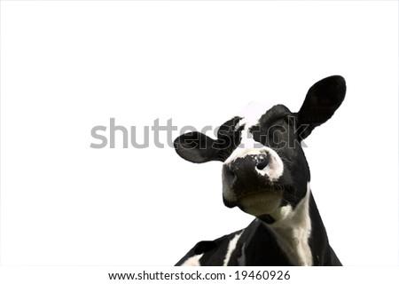 Black and white Friesian Cow on white background - stock photo