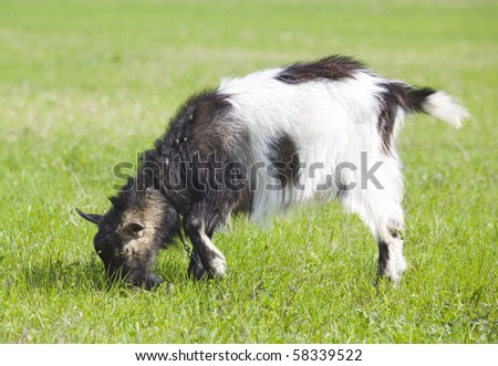Black and white goat on green grass