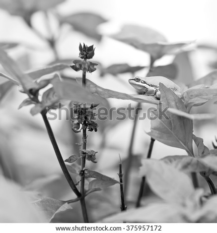 Black and White grayscale image of Australian Green Tree Frog on Basil leaf in organic garden - stock photo