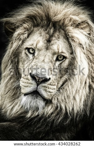 Black and white hard contrast portrait of a male lion on a black background
