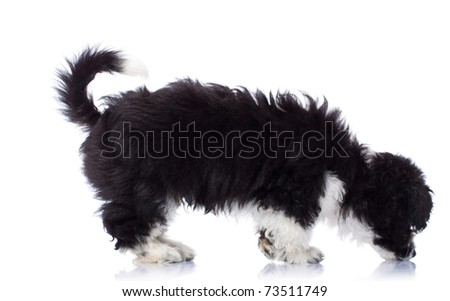 Black and white havanese bichon seated and sniffing ground - stock photo