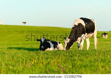 Black and white Holstein cows grazing - stock photo