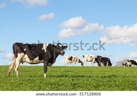Black and white Holstein dairy cow on the skyline  in a lush green pasture against a blue sky with white clouds in evening light , side view  and copy space, herd in the background - stock photo