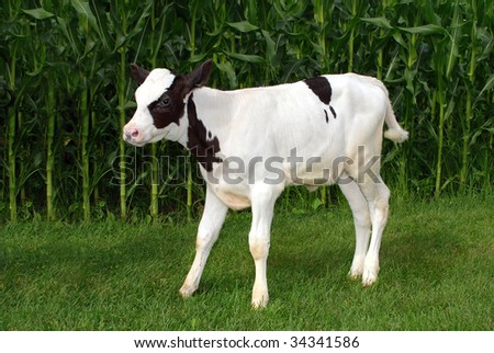 black and white holstein veal