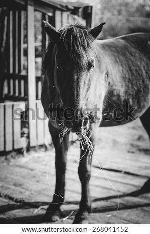 Black and white horse portrait. Horse eats hay. - stock photo