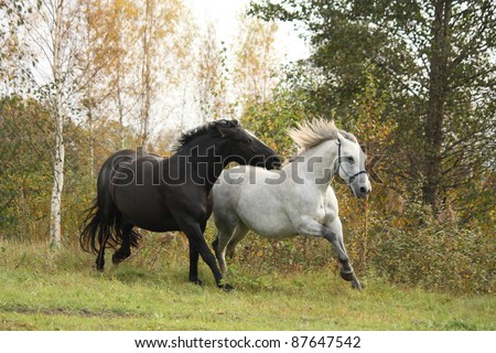 Black and white horses running in the wild in autumn