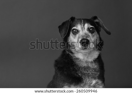 Black and white image of a dog looking into the camera with a grey background - stock photo