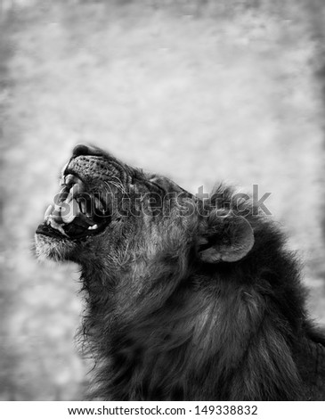 Black and White image of a Lion Displaying Teeth - stock photo
