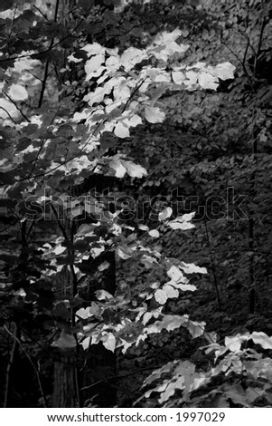 Black and white image of autumn leaves standing out in contrast against leaves that have yet to turn. - stock photo