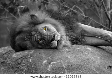 Black and white image of lion.  Lion is laying on rock ledge.  Eyes are glowing amber. - stock photo