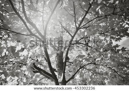 Black and white image of sunburst through leaves. - stock photo