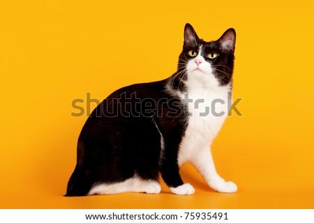 Black and white japanese bobtail on orange background - stock photo