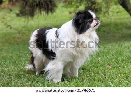 Black and white Japanese Chin relaxing in the grass