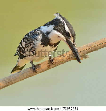 Black and white kingfisher bird (Pied kingfisher, Ceryle rudis) perching on a branch - stock photo