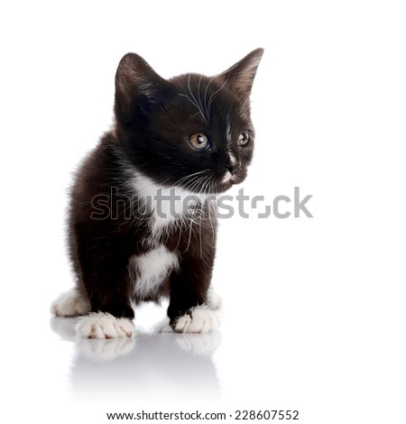Black and white kitten.  Fluffy black kitten. Kitten on a white background. Small predator. Black kitty. Small cat.