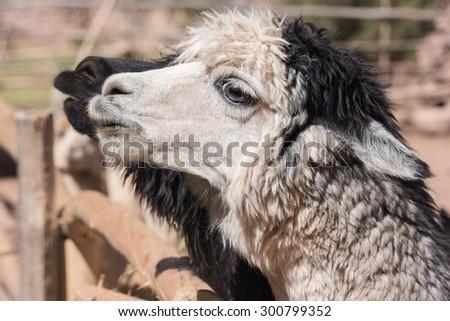 Black and white Lama - stock photo