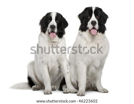Black and white Landseer dogs, 9 and 19 months old, sitting in front of white background