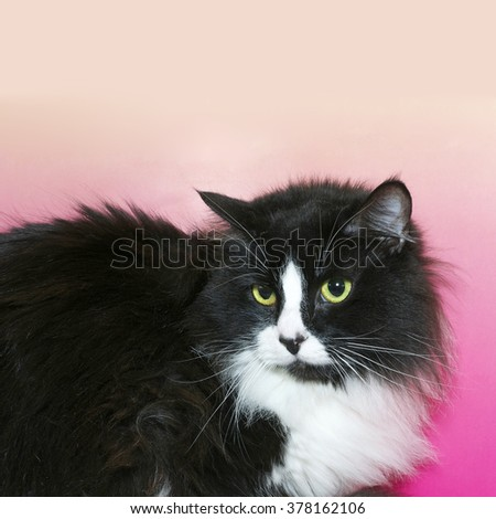 Black and white long hair tuxedo cat with green eyes looking down. Pink and yellow textured background.  - stock photo
