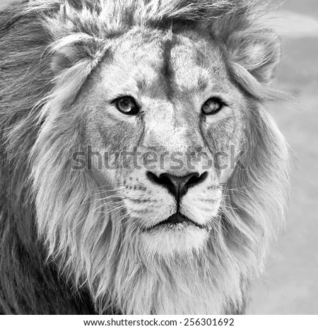 Black and white macro portrait of an Asian lion in high key. King of beasts. Wild beauty of the biggest cat. The most dangerous and mighty predator of the world.  - stock photo