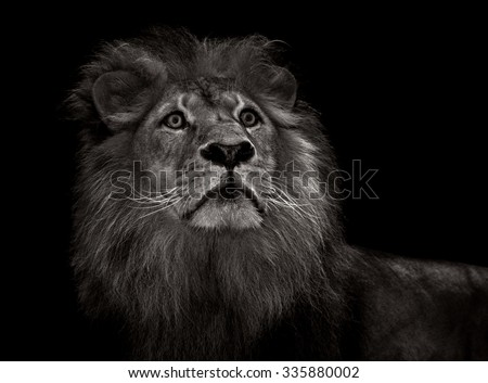 black and white male lion with mane - stock photo