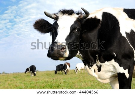 Black and white milch cow on green grass pasture over blue sky - stock photo