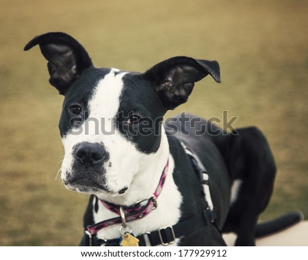 Black and white mixed breed puppy posing for her picture outside - stock photo