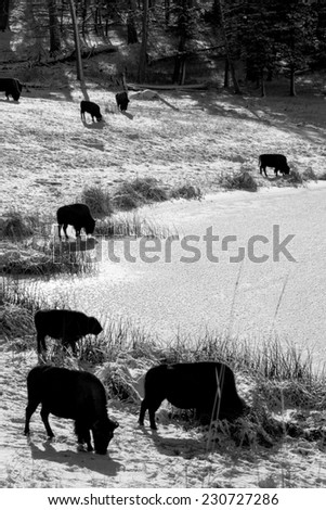 Black and white of bison herd at the edge of a frozen body of water, searching for a better feeding ground - stock photo