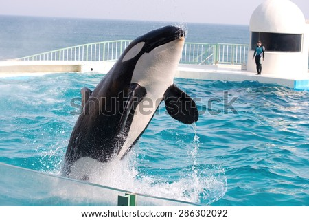 Black and white orca killer whale jumping - stock photo
