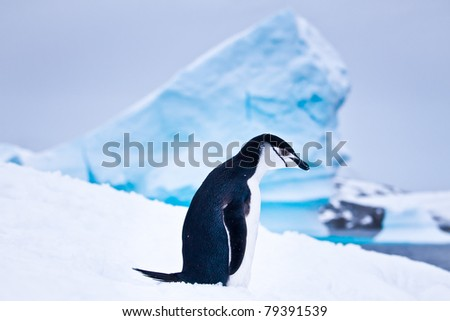 black and white penguin  on the white snow in Antarctica - stock photo
