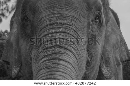 Black and white photo closeup of an elephant