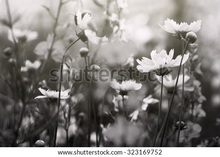black and white photo, flowers in a field - stock photo