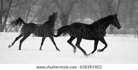 Black and white photo in retro style with beautiful black and gray horses against white snow