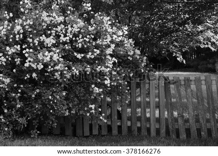 Black and white photo of climbing roses on weathered wooden fence.  Charming rural landscape with sunlight filtering through trees in the background.