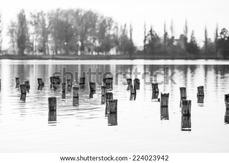 Black and white photo of flooded tree trunks from felled trees with reeds, vegetation and reflexions  - stock photo