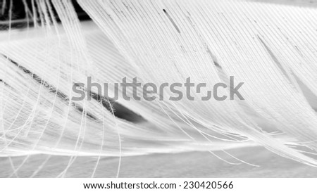 Black and white photo of hen feather with details and reflexions