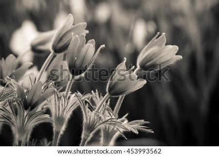 Black and white photo of snowdrops (focus on a flower)