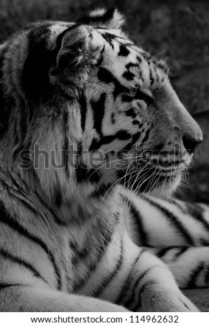 Black and white photo of tiger - stock photo