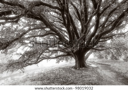 Black and white photograph of a giant oak tree on a misty morning on a California hillside - stock photo