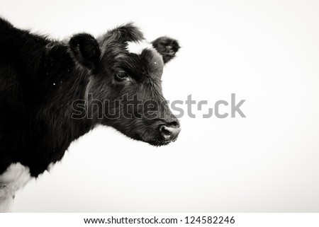 Black and white photography of a cow's head - stock photo
