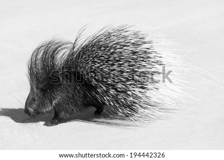 black and white photography of a porcupine  - stock photo