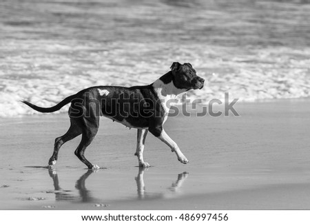 Black and white picture of American Staffordshire Terrier